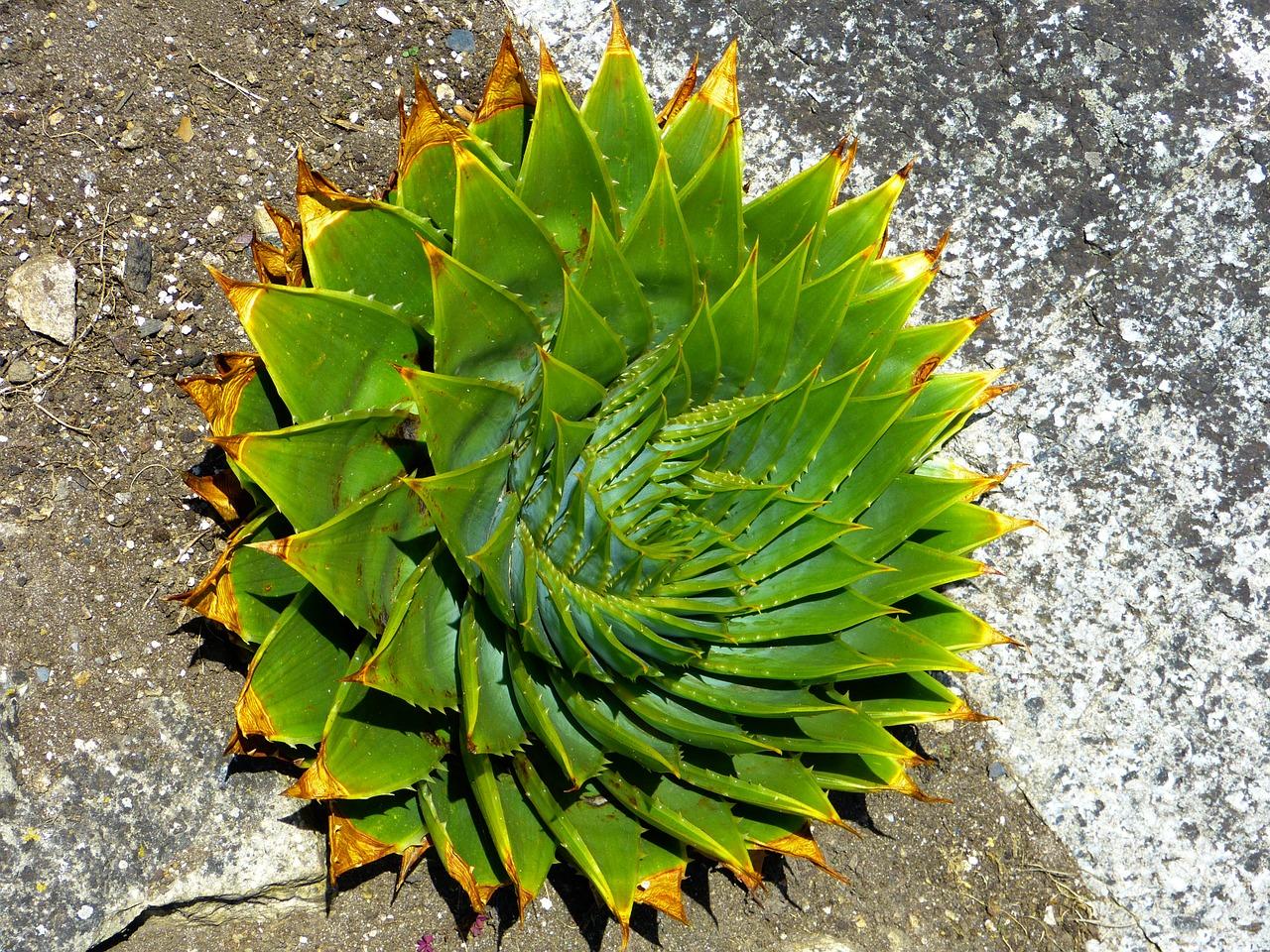 Aloes – właściwości i zastosowanie. Aloes do jedzenia i do picia. Sok z aloesu: cena