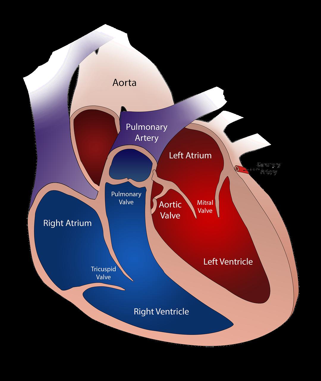 Jak uchronić się przed chorobami serca? Zdrowe serce, echo serca poznań