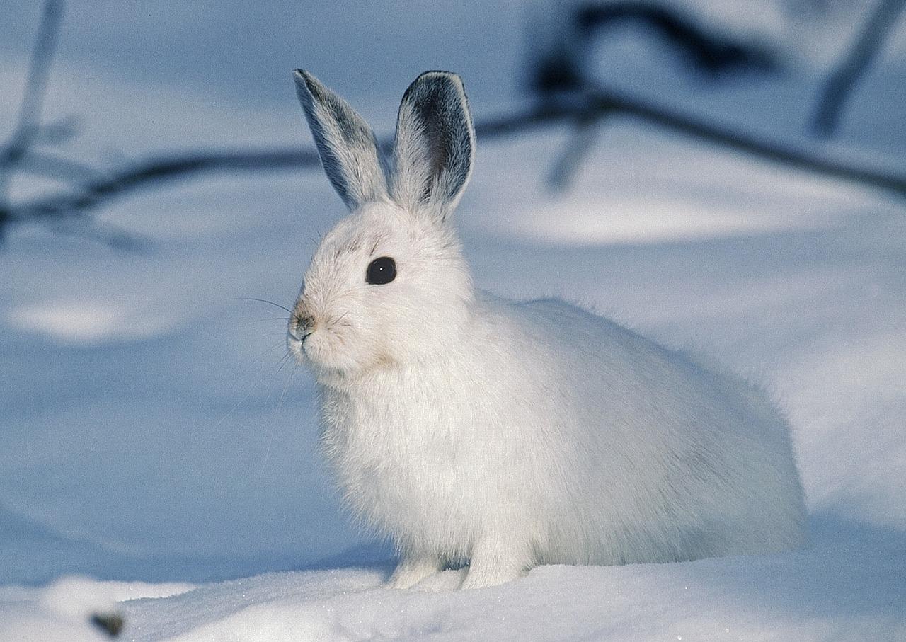 Charakterystyka królików rasy kalifornijskiej