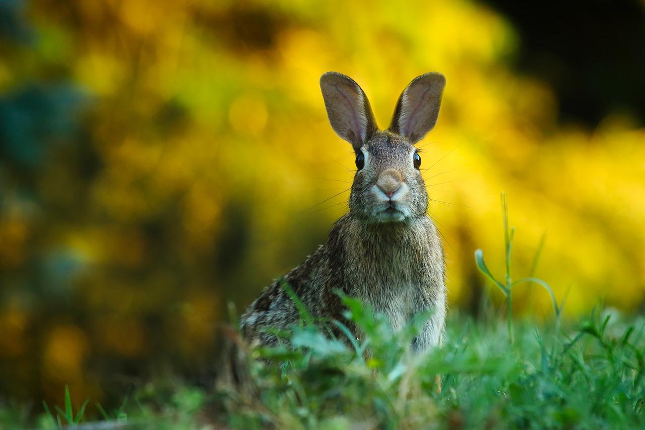 Czy króliki nowozelandzkie czerwone są hodowane w Polsce? Królik nowozelandzki czerwony hodowla