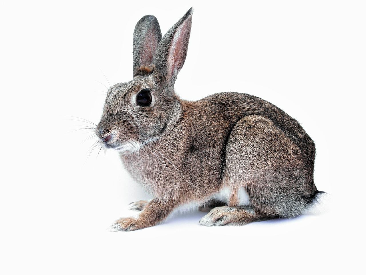 Kukurydza dla królików. Czy kukurydzą można żywić króliki?