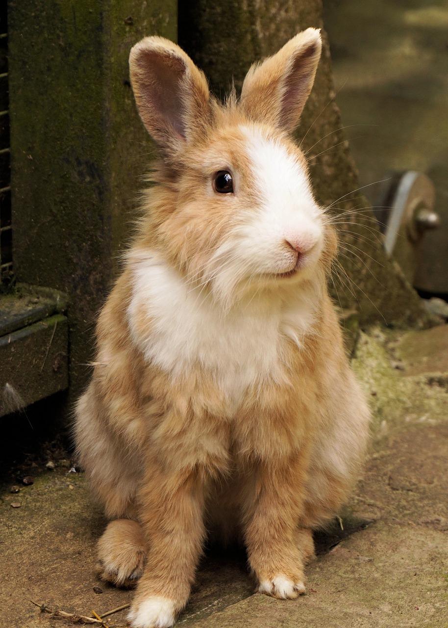 Czy samodzielnie można obciąć królikowi pazurki?