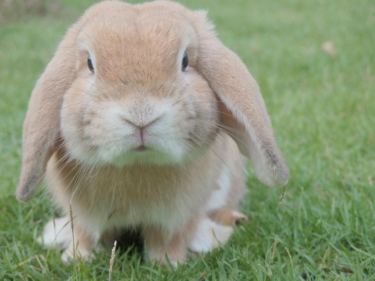Pomór królików. Czy króliki chorują?