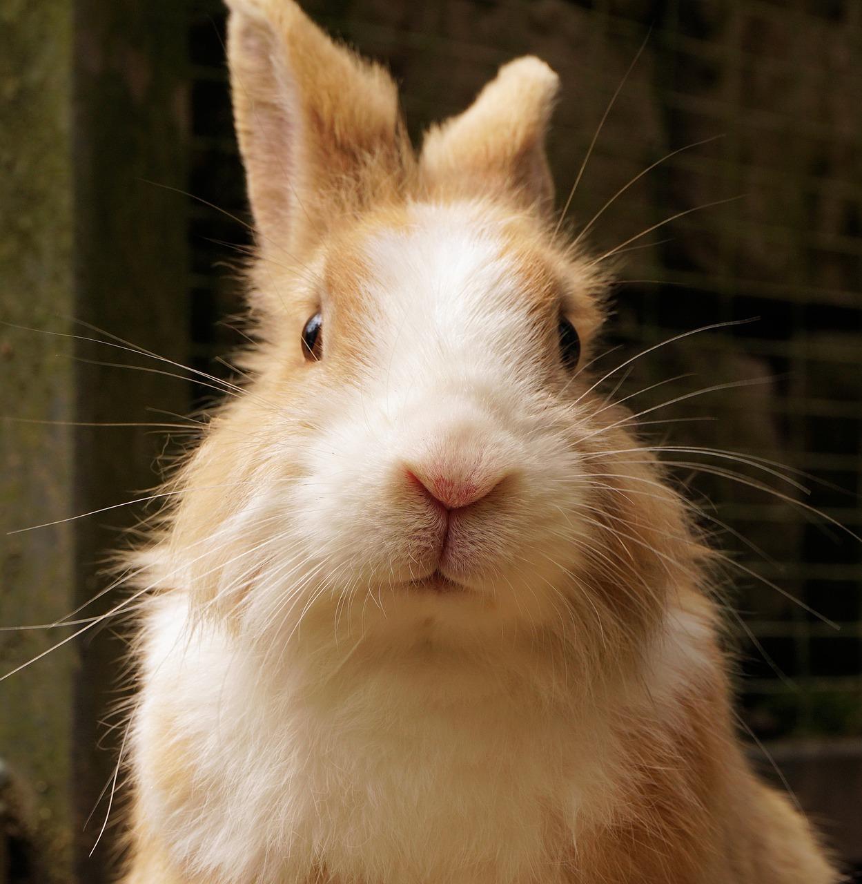 Rozród królika kaliforniskiego. Królik kalifornijski rozmnażanie