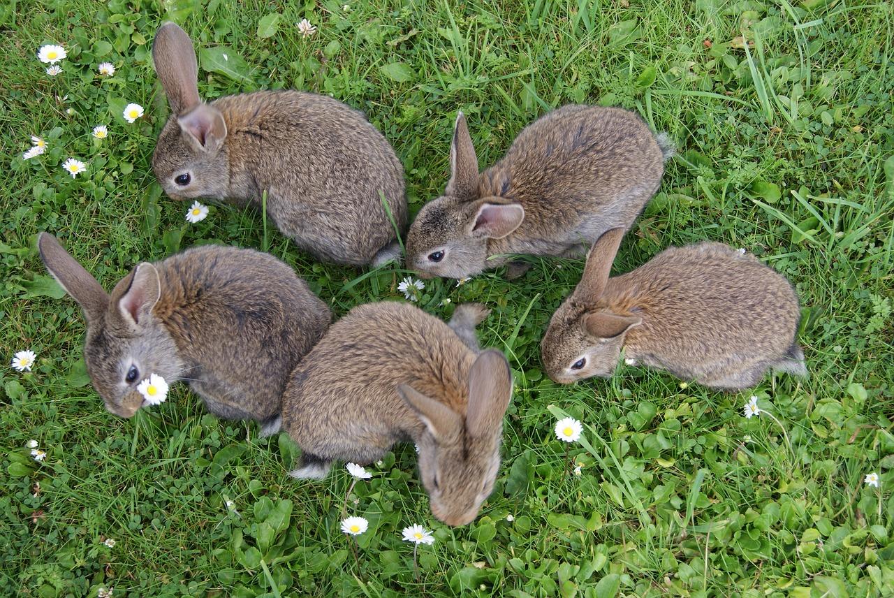 Króliki popielniańskie. Skąd wywodzi się rasa królików popielniańskich?