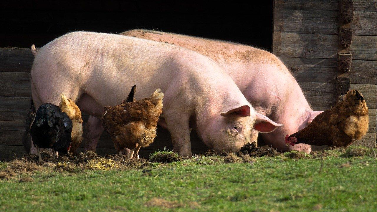 Olej sojowy odgumowany – cenny preparat dla zwierząt hodowlanych