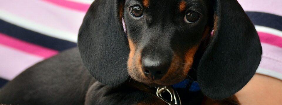 Gdzie szukać psa do oddania lub na sprzedaż?