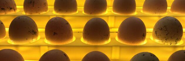 Czym charakteryzuje się profesjonalny inkubator do jaj?