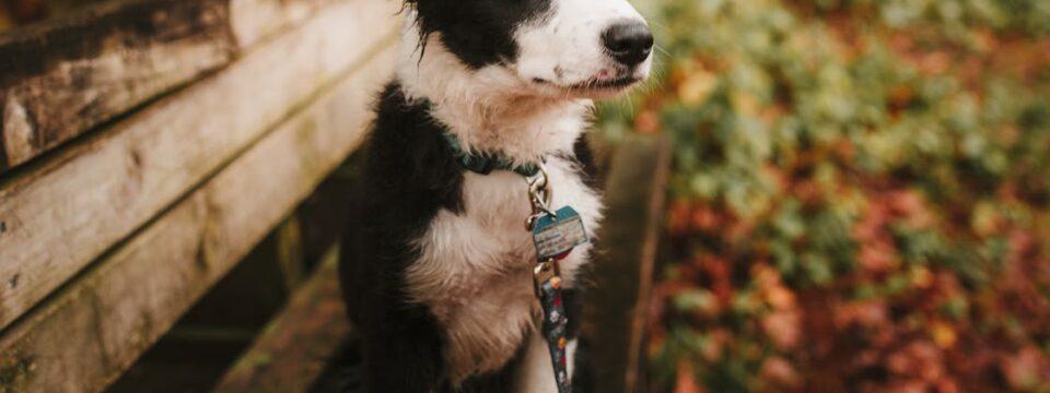 Jak trenować właściwe zachowanie z dorosłym psem?